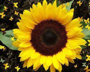 seminte de floarea soarelui proprietati