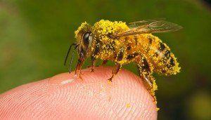 fagure de miere polen
